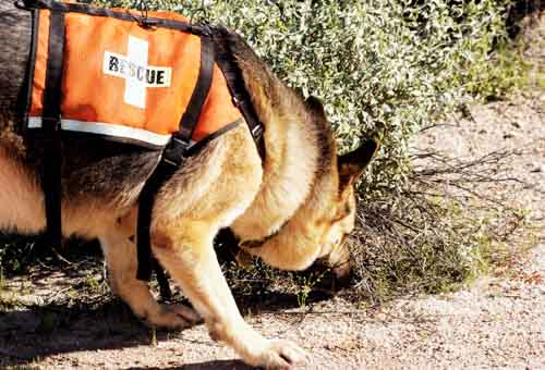 Search dog at work